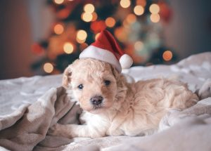 Puppy in a Santa hat