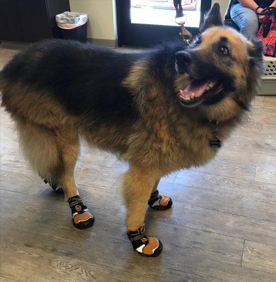 Maverick in booties