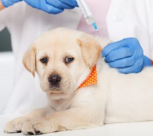 Vaccinations for puppies